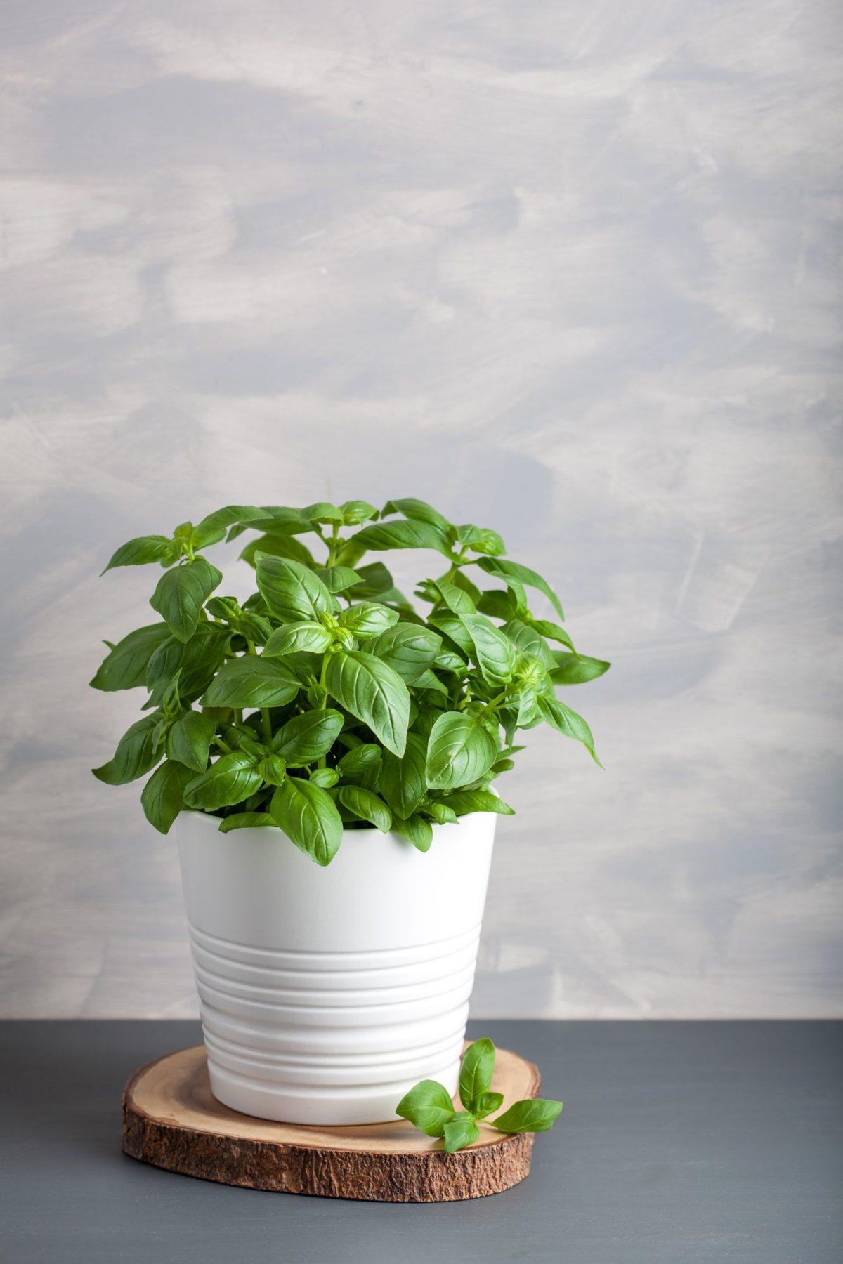"""alt=""""Plante aromatice Busuioc"""""""